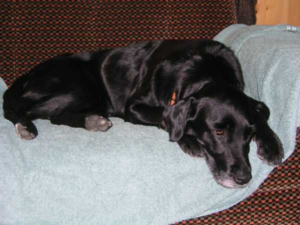 Emma, Labrador Retrieverhündin, vom Tierschutz