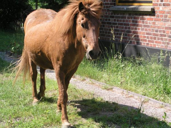 Synna de synn'shoeve, Islandpferd aus Holland im Alter von 32 Jahren...