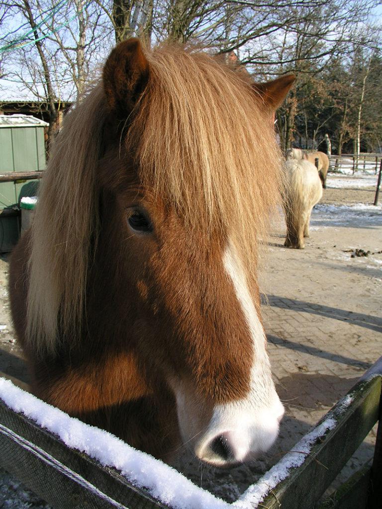 Thokka vom Poggenend, Islandpferd, Tochter von Tvista frá Middal