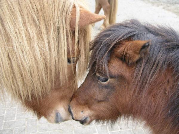 Islandpferd Thokka vom Poggenend trifft Shetlandpony Tinka vom Drammetal...