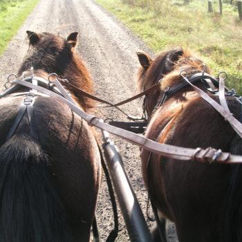 Unterwegs mit unserem ersten Shetty-Zweispänner Tiff + Tinka